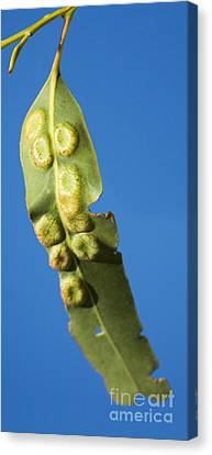 Gum Leaf Galls Canvas Print by Jorgo Photography - Wall Art Gallery