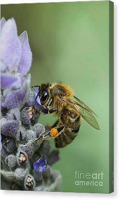 Happy Bee Canvas Print by Joy Watson