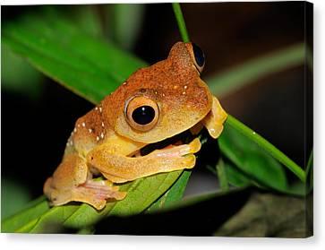 Harlequin Flying Frog, Malaysia Canvas Print