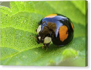 Ladybug Canvas Print - Harlequin Ladybird by Heath Mcdonald