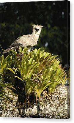 Harpy Eagle Chick In Kapok Tree Canvas Print