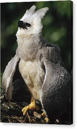 Harpy Eagle Threat Posture Amazonian Canvas Print