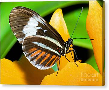 Hecale Butterfly Canvas Print by Millard H. Sharp