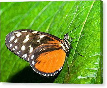 Hecale Longwing Butterfly Heliconius Canvas Print by Millard H. Sharp