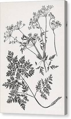 Hemlock, 19th Century Artwork Canvas Print by Middle Temple Library