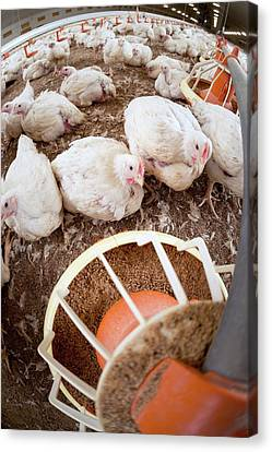Hens Feeding From A Trough Canvas Print