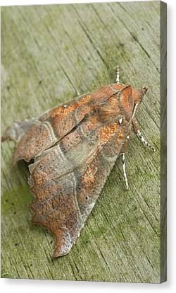Herald Moth Canvas Print