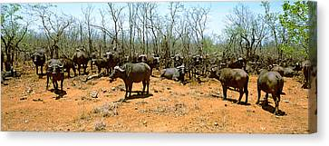 Herd Of Cape Buffaloes Syncerus Caffer Canvas Print by Panoramic Images