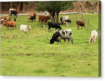 Herd Of Texas Longhorn Cattle In Green Canvas Print
