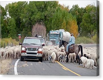 Herding Sheep Canvas Print