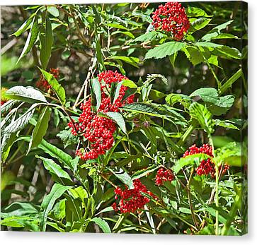 High Bush Cranberry Plant Viburnum Opulus Canvas Print by Valerie Garner