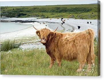 Highland Cattle By The Sea Canvas Print by Duncan Shaw