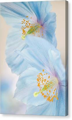 Himalayan Poppy (meconopsis Sp.) Canvas Print by Maria Mosolova