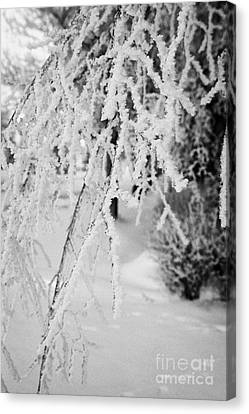 Overhang Canvas Print - hoar frost on overhanging bare tree branches during winter Forget Saskatchewan Canada by Joe Fox