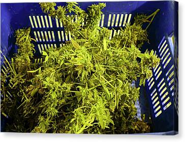 Home Grown Cannabis Plants. Canvas Print by Photostock-israel