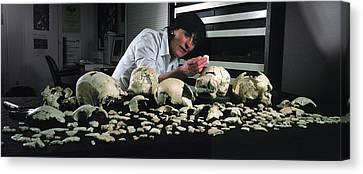 Hominin Skulls From Sima De Los Huesos Canvas Print