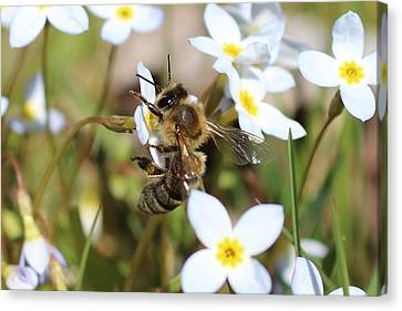 Honeybee On Bluet Canvas Print by Lucinda VanVleck
