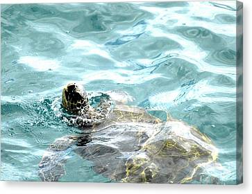Kamakahonu, The Eye Of The Honu  Canvas Print