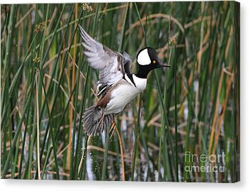 Hooded Merganser Take-off Canvas Print by Jennifer Zelik