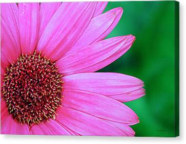Pink Gerbera Flower Canvas Print