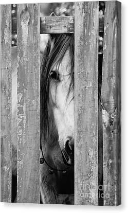 Horse Board 2 Canvas Print by Lynda Dawson-Youngclaus