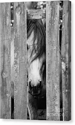 Horse Board Canvas Print by Lynda Dawson-Youngclaus