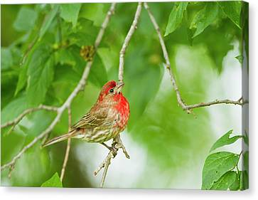 House Finch (carpodacus Mexicanus Canvas Print by Larry Ditto