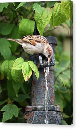House Sparrow Drinking Water Canvas Print