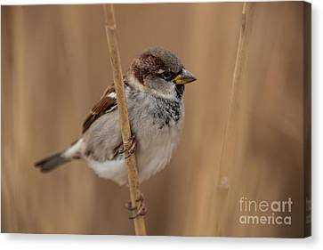 House Sparrow Passer Domesticus Canvas Print