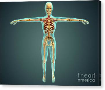 Human Body Showing Skeletal System Canvas Print by Stocktrek Images