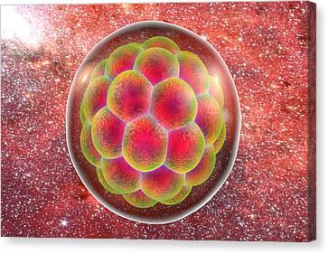Human Embryo Canvas Print