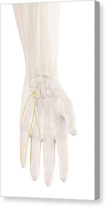 Human Hand Nerves Canvas Print by Sciepro