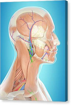 Normal Canvas Print - Human Head Anatomy by Sciepro