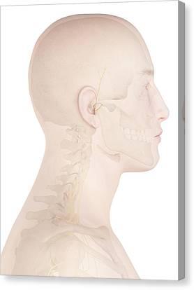 Human Nerves Canvas Print