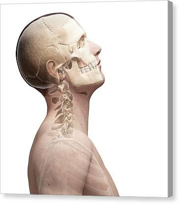 Human Head Canvas Print - Human Skull And Neck Bones by Sebastian Kaulitzki