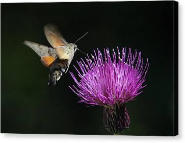 Canvas Print featuring the photograph Hummingbird Hawk-moth - Macroglossum Stellatarum by Jivko Nakev