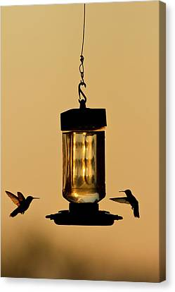 Hummingbirds At Feeder Before Sunrise Canvas Print