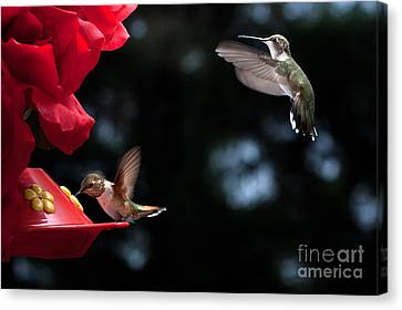 Horizontal Canvas Print - Hummingbirds At Feeder by Cindy Singleton