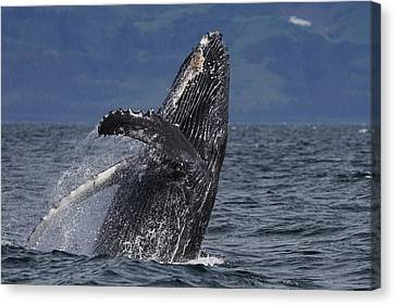 Marine Mammals Canvas Print - Humpback Whale Breaching Prince William by Hiroya Minakuchi