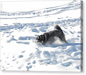 Husky Canvas Print by Alexander Fedin