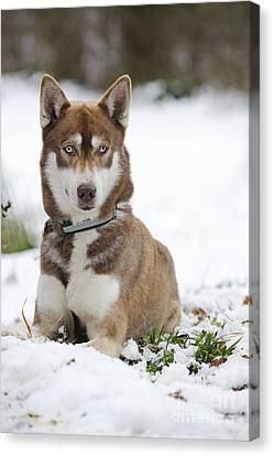 Husky In Snow Canvas Print by John Daniels