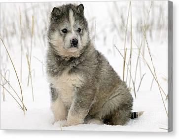 Husky Puppy Dog Canvas Print