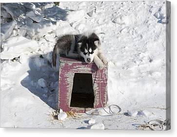 Husky Sled Dog Puppy Canvas Print by Science Photo Library