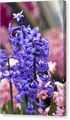 Hyacinth Garden Canvas Print by Frank Tschakert