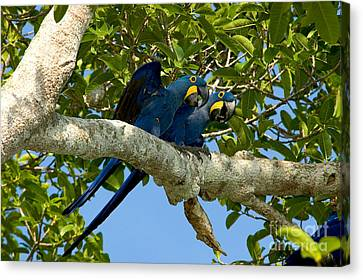 Hyacinth Macaws, Brazil Canvas Print by Gregory G. Dimijian, M.D.