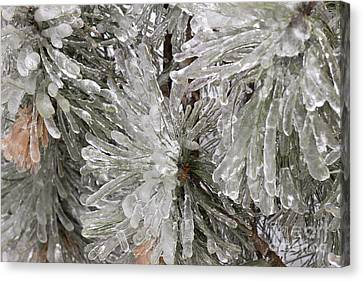 Ice On Pine Branches Canvas Print by Blink Images