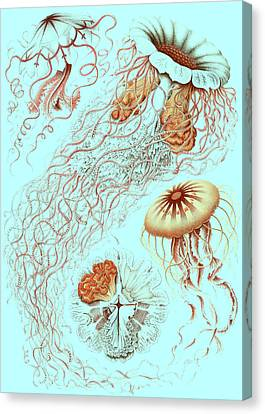 Illustration Showing Four Different Types Of Jellyfish Canvas Print