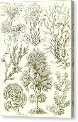 Illustration Shows Algae. Fucoideae. - Brauntange Canvas Print