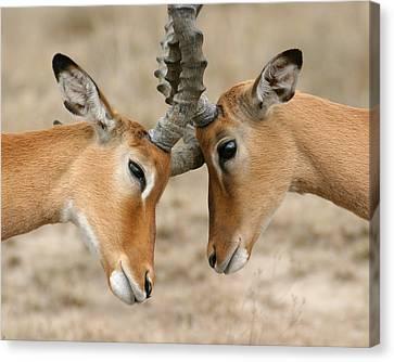 Impala Nudge - Selenium Toned Canvas Print by Mike Gaudaur