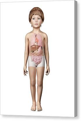 Internal Organs Of Boy Canvas Print by Sebastian Kaulitzki
